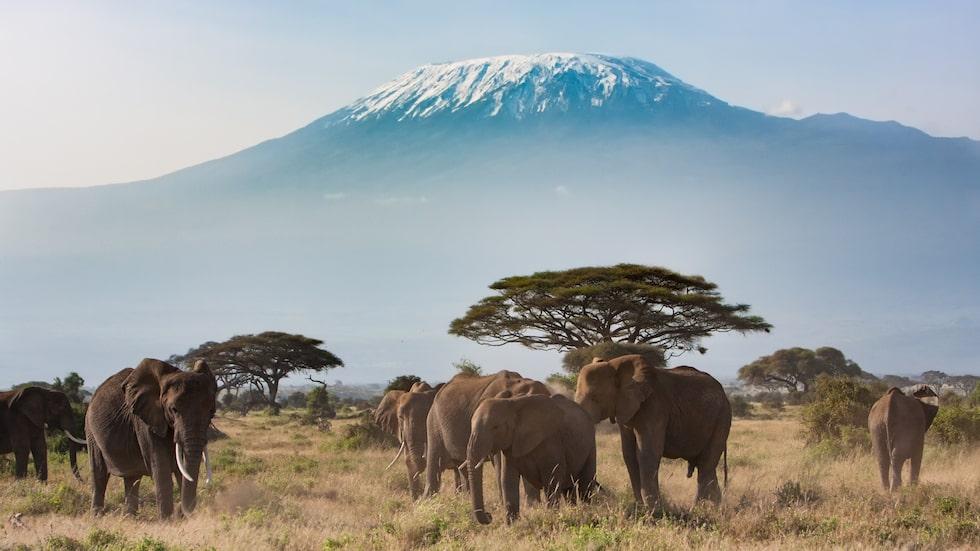 Amboseli nationalpark i Kenya med Kilimanjaro i bakgrunden.