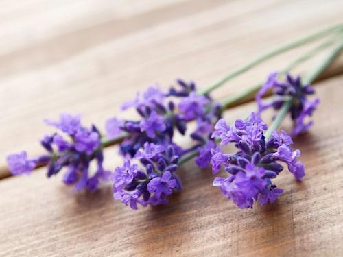 Lavendelblomman är otroligt vacker – och lätt att föröka med sticklingar.