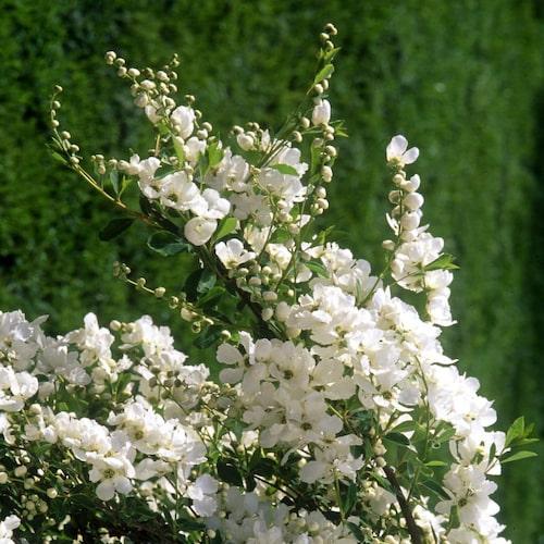 Pärlbuskes vita blomknopparna skimrar som pärlor.