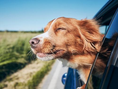 Lämna aldrig djur i bilen! Varje år går massor av djur en plågsam och helt onödig död till mötes på grund av det.
