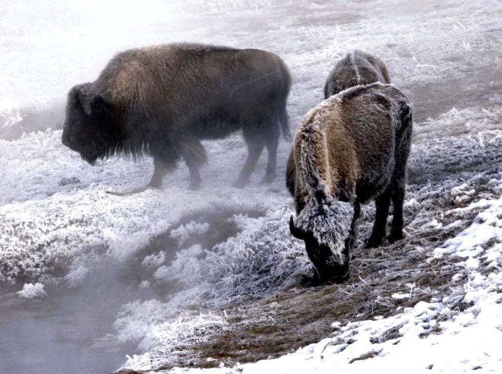 Med nersänkta huvuden och rimfrost i skäggen vandrar några bisonxoar på vägen vid Lamar valley, Yellowstones ö ppna slätter.