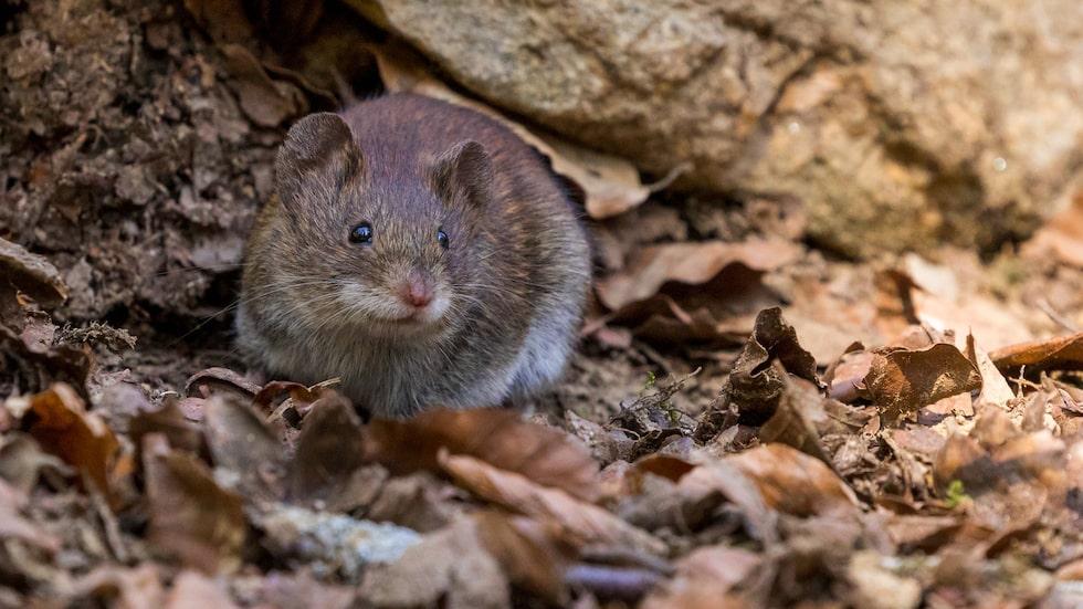 Redan innan den mest hektiska tiden för råttsaneringar har börjat, har årsrekordet för antal saneringar slagits. Nu behöver fastighetsägare hjälpas åt för att ta tag i problemet med råttor.