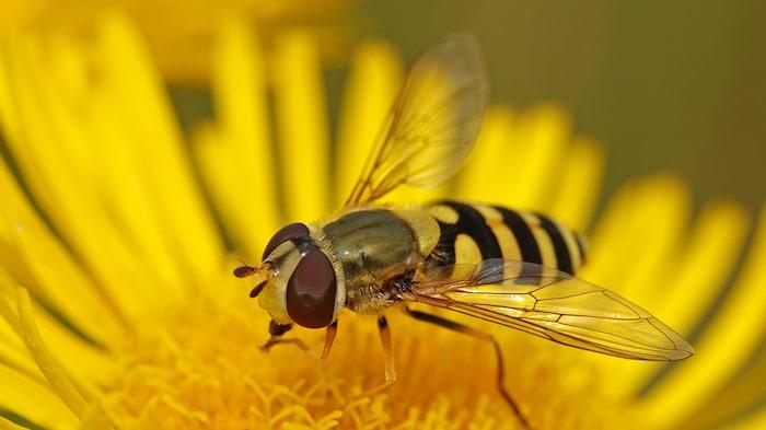 Blomflugan (Syrphidae) ser mer ut som ett bi och är en viktig pollinerare i trädgården.