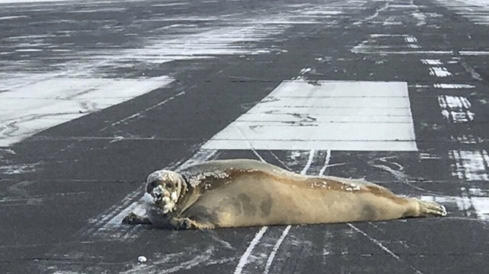 Det var på flygplatsen i staden Utqiagvik i Alaska som sälen passade på att njuta av lite sol.
