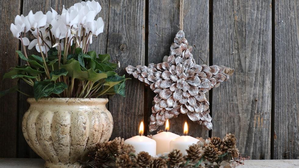 Många tänker på cyklamen som en julblomma men det är faktiskt en året runt-blomma, om du vill.