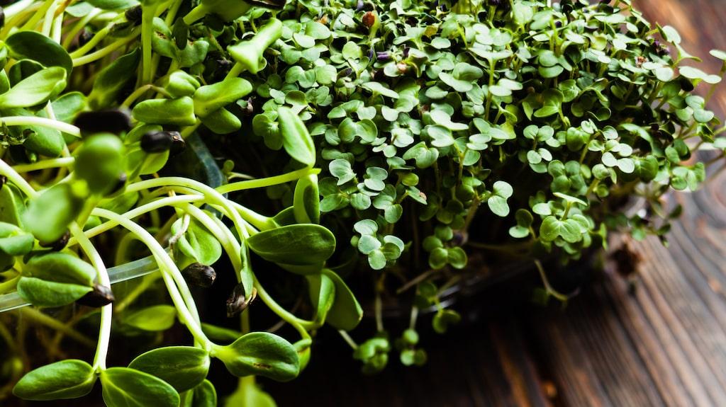 Har du ingen trädgård? Det går ju utmärkt att odla ätbart på fönsterbrädan i stället! Olika groddar är något av det enklaste.