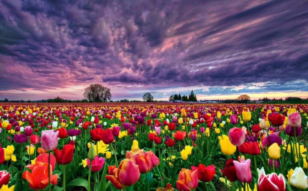 Tulpaner i många färger.
