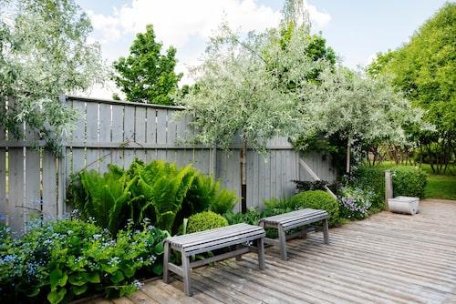 Att plantera perenner vid poolen är en bra idé, det blir lummigt, snyggt och lättskött. Silverpäronträden är nyinköpta.