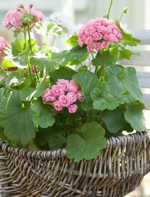 Förr övervintrade man alltid blommorna. Pelargoner gick till och med i arv flera generationer.