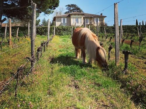 Allt fler vingårdar arbetar ekologiskt i Bordeaux.