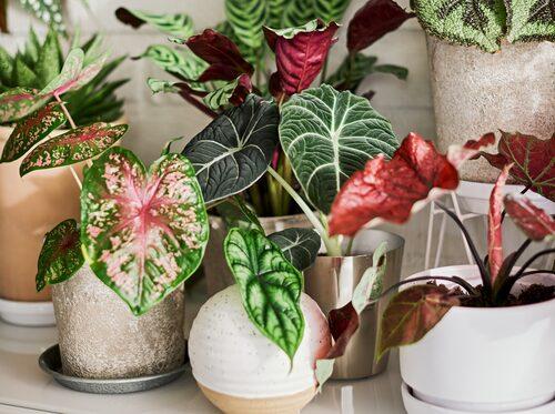 Växter med stora, imponerande blad i olika nyanser och skiftningar är trendigt 2021.