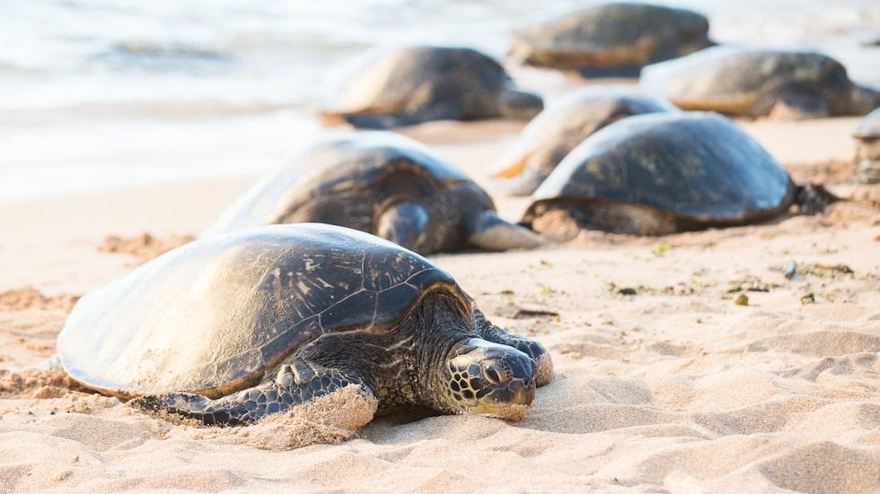Man har undersökt 300 olika platser där havssköldpaddor lägger sina ägg.
