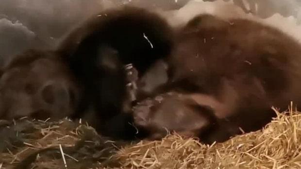 """Nu har mamma björn fått ungar: """"Nästan osynliga"""""""