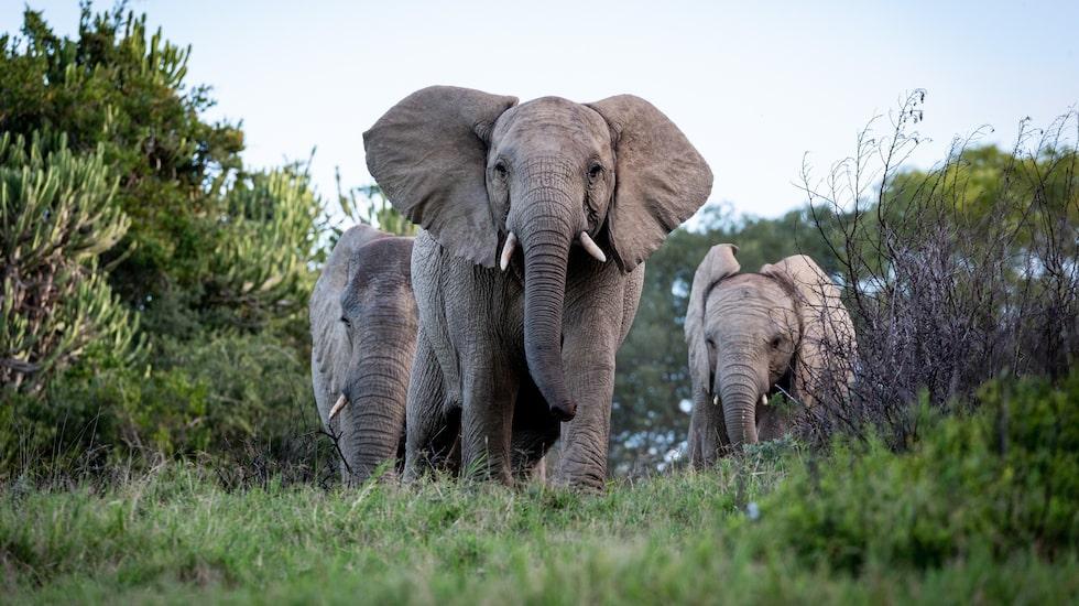 Det finns gott om elefanter i Kruger och om man väljer att köra på egen hand gäller det att vara vaksam och behålla lugnet om de kommer nära.