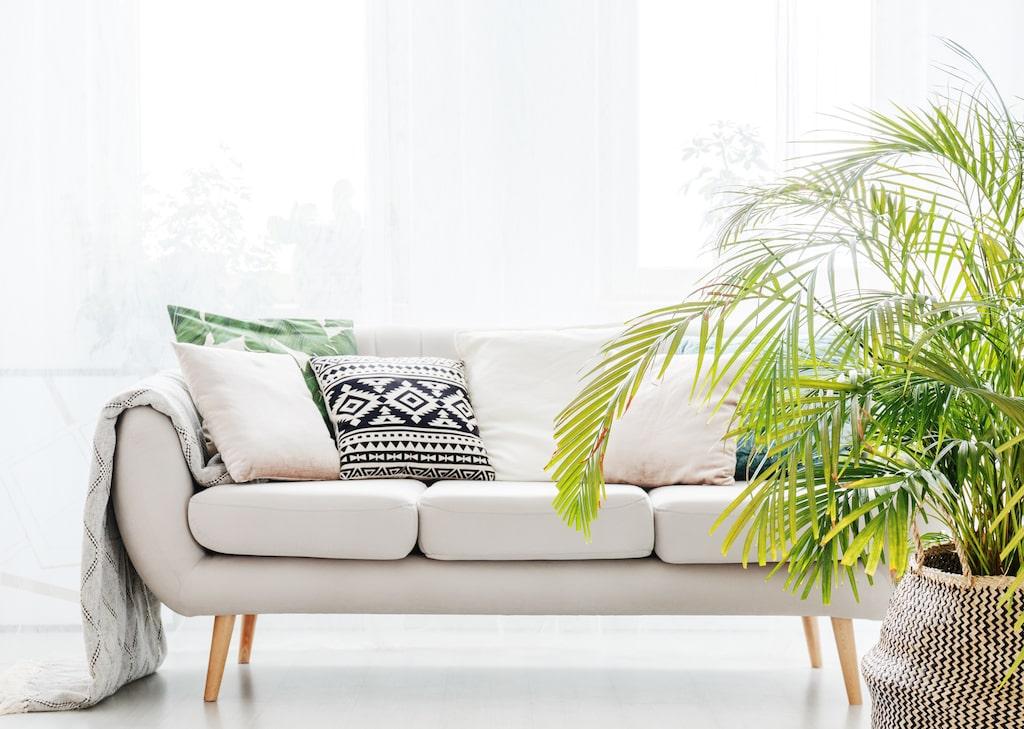Den heter inte bara palm – utan guldpalm och på latin Dypsis lutescen.