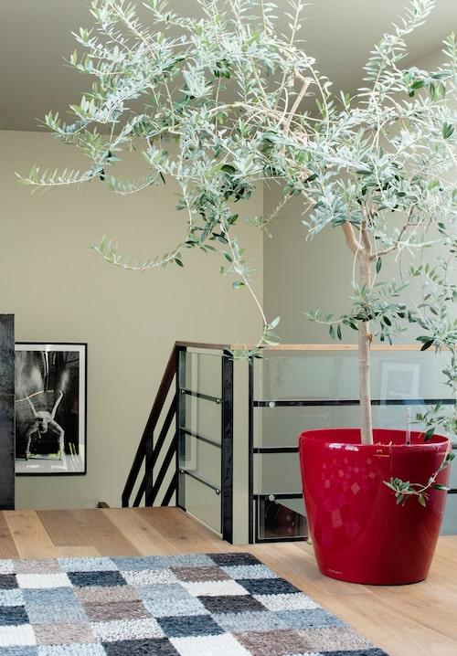 Ovanför trappan möts man av ett härligt olivträd som bryter av mot stål och glas.