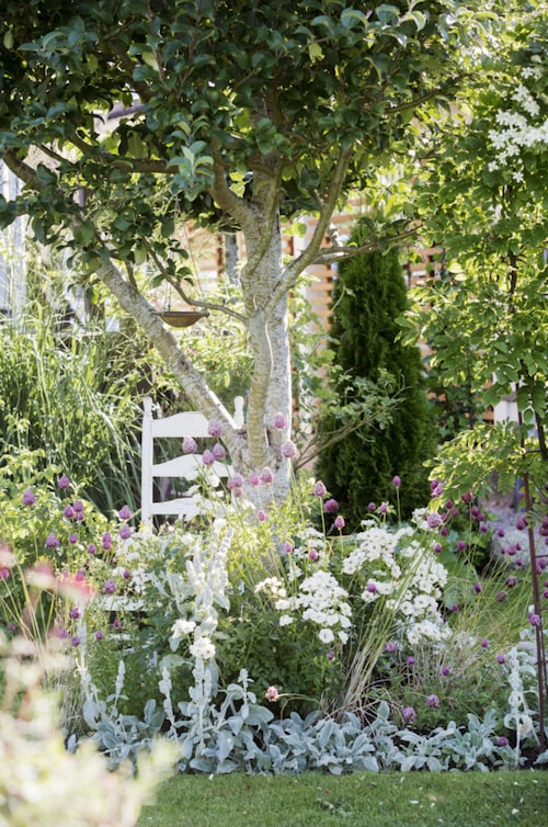 """Under äppelträdet """"Filippa"""" frodas ljuvliga perenner som lammöron, klotlök och rosen """"White cover""""."""