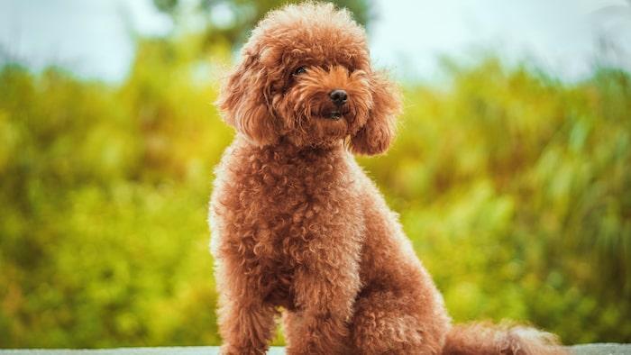 Pudel är en pigg, trevlig och klok hund.