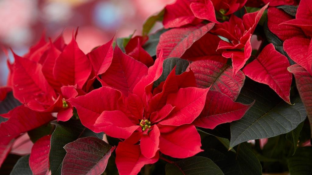 Har du tur kan du lyckas få julstjärnan att blomma igen till nästa jul.