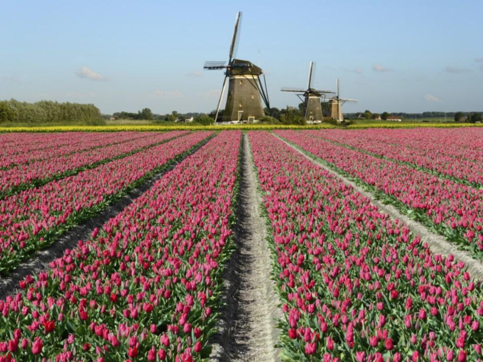 Vackra tulpanfält i Nederländerna.