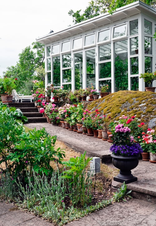 På gången upp till växthuset trängs hortensior och pelargonkrukor.