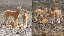 Sötchocken: 14 hjortkalvar –var utrotade i vilt tillstånd