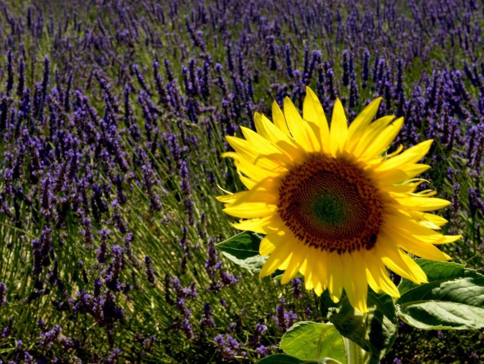 Provences berömda blommor är solros och lavendel.