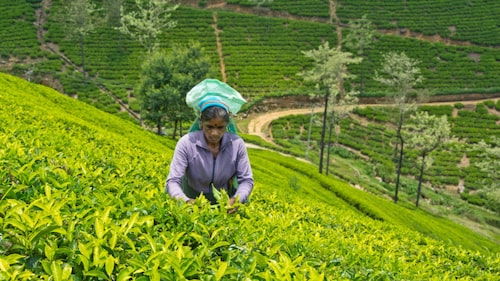 Ceylonte plockas för hand av tamilkvinnor.