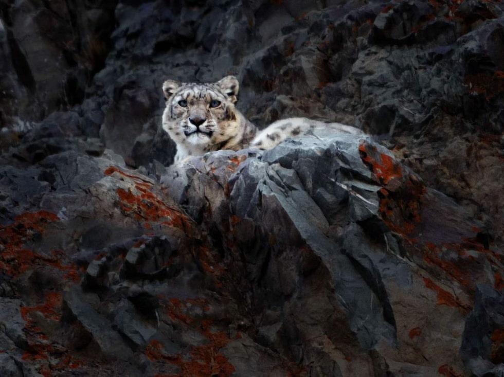 Snöleoparderna smyger på  4 000 meters höjd efter vildgetter och blåfår i några bergsdalar i Ladakh.