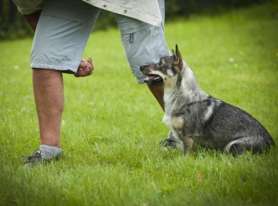 """TRICK: KRYSSA MELLAN MATTES BENSteg 1:   Slalomporten. Ställ  dig så att du har det ena benet långt framför det   andra (som en  slalomport). Ställ eller sätt hunden intill ditt bakre   ben och för med  handen en godis eller leksak den väg du vill att  hunden  ska gå. Belöna  med lockbetet så fort hunden gör som du har  tänkt.  Upprepa och  kommendera """"kryss"""" när hunden börjar förstå vad du  är ute  efter."""
