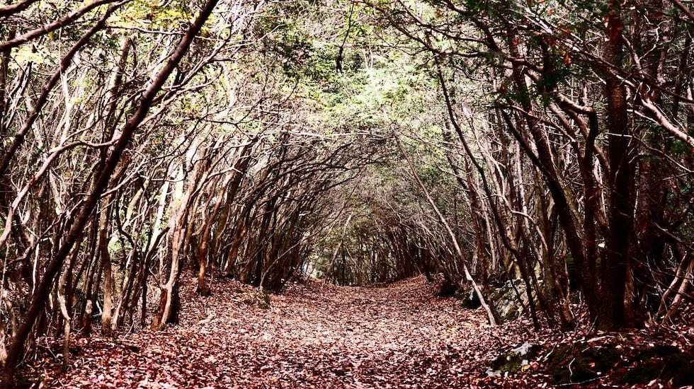 Varje år begås närmare 100 självmord i skogen Aokigahara Jukai, nära berget Fuji, i Japan.