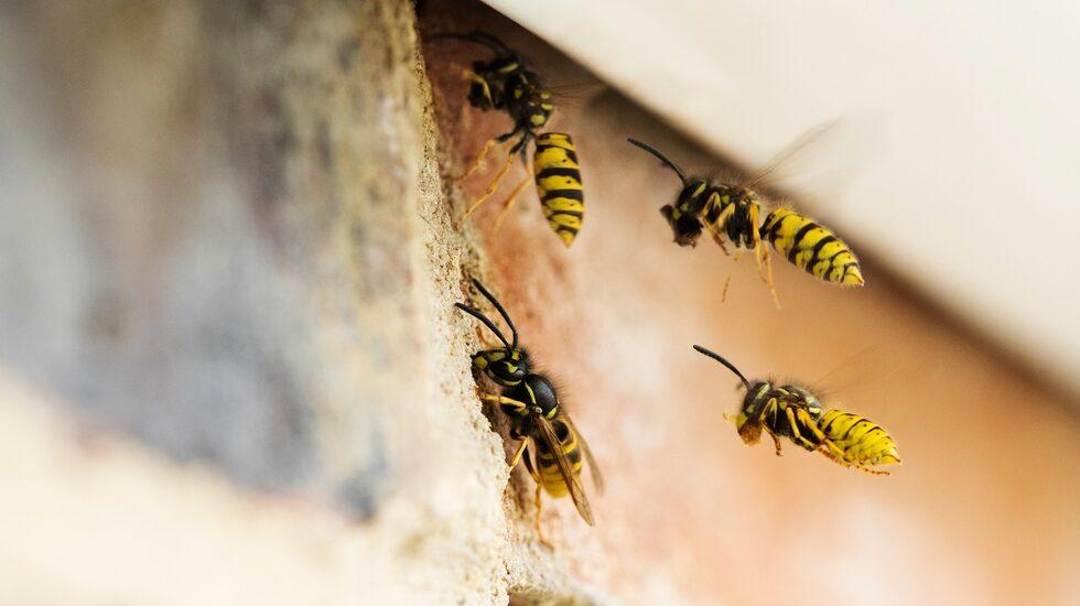 På våren, vanligtvis i mitten av man, är det en bra tid för att hålla utkik efter getingar som bygger bo.