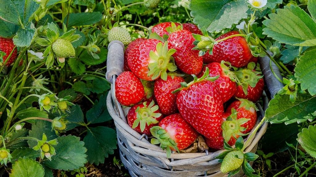 Att odla kräver tålamod. Och det gäller inte minst jordgubbsplantorna. För bästa möjliga skörd bör plantorna sättas redan sommaren innan.