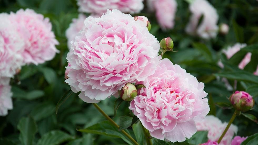 Pioner är en otroligt älskad växt med fantastiska blommor, så som gamla klassiska luktpionen Sarah Bernhardt, med fyllda rosa blommor.