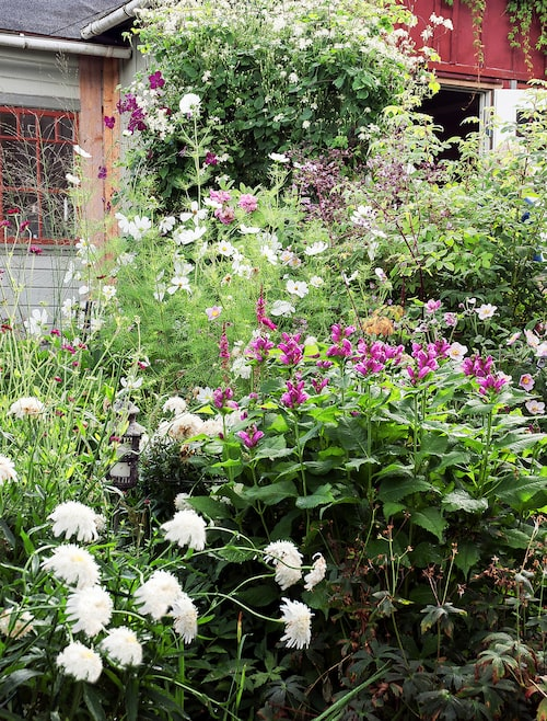 Rabatterna går i milda och kalla färger. I den här växer vit jätteprästkrage, blanknäva, sköldpaddsört och rosenskära.