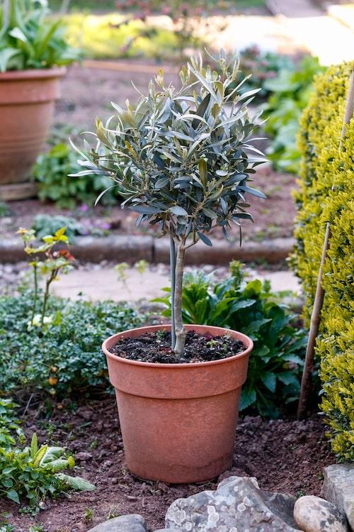När du tar ut trädet på våren, se då till att skydda den mot solens starka strålar i början; du kan antingen använda skuggväv eller så ställer du trädet i skuggan till att börja med.