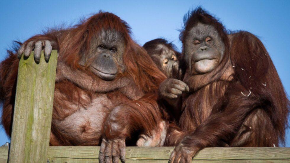 <p>Den 19 augusti ärdet nämligen orangutangernas dag!</p>