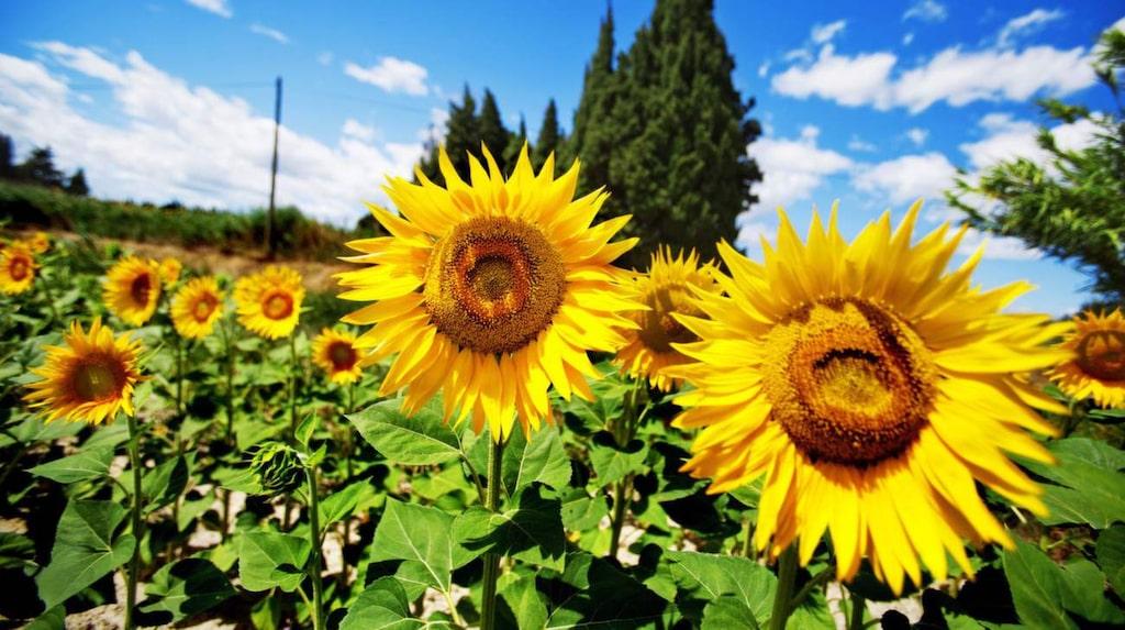 Solrosor – fantastiskt vackra solgula växter vars blomma faktiskt kan bestå av 2 000 blommor. I en enda solros.