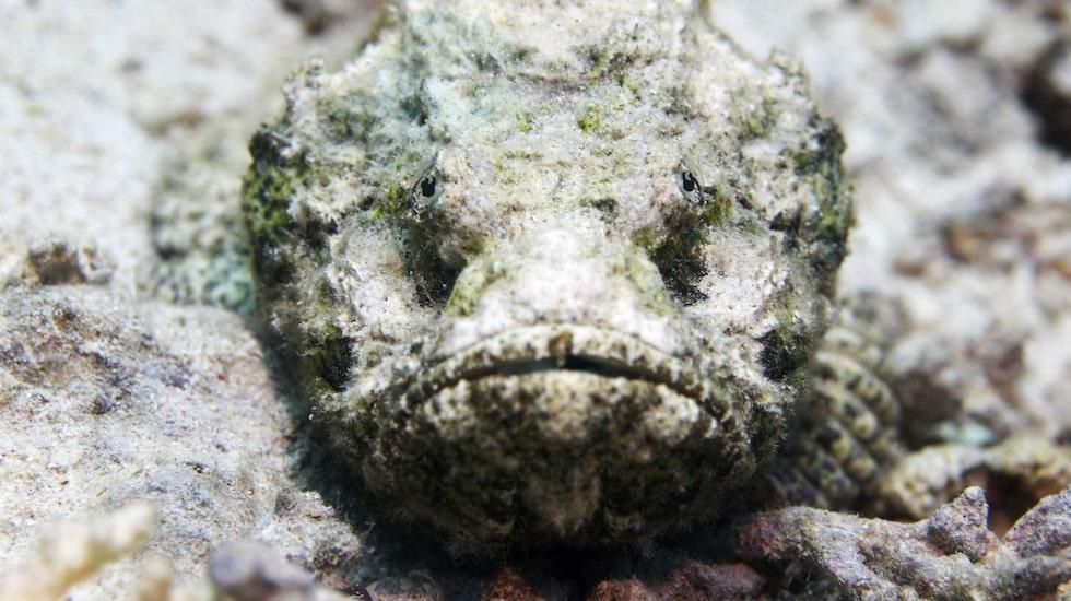 Så här kan en stenfisk se ut.
