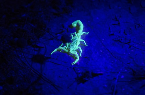 Skorpioner lyser fint i UV-ljus.