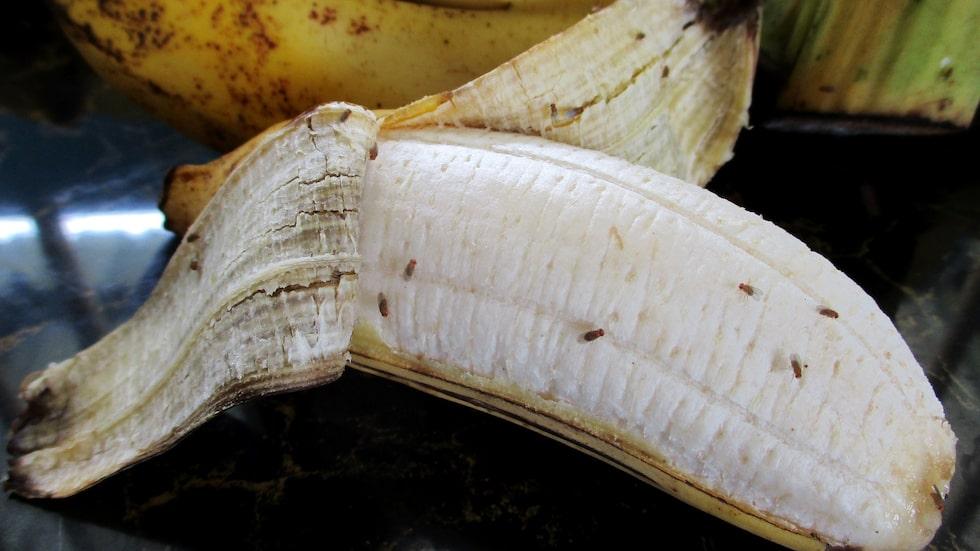 Bananflugor är inte farliga, men det kanske inte är så trevligt att de lägger tusentals ägg på din frukt.