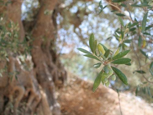 Olivträd i Amaridalen.
