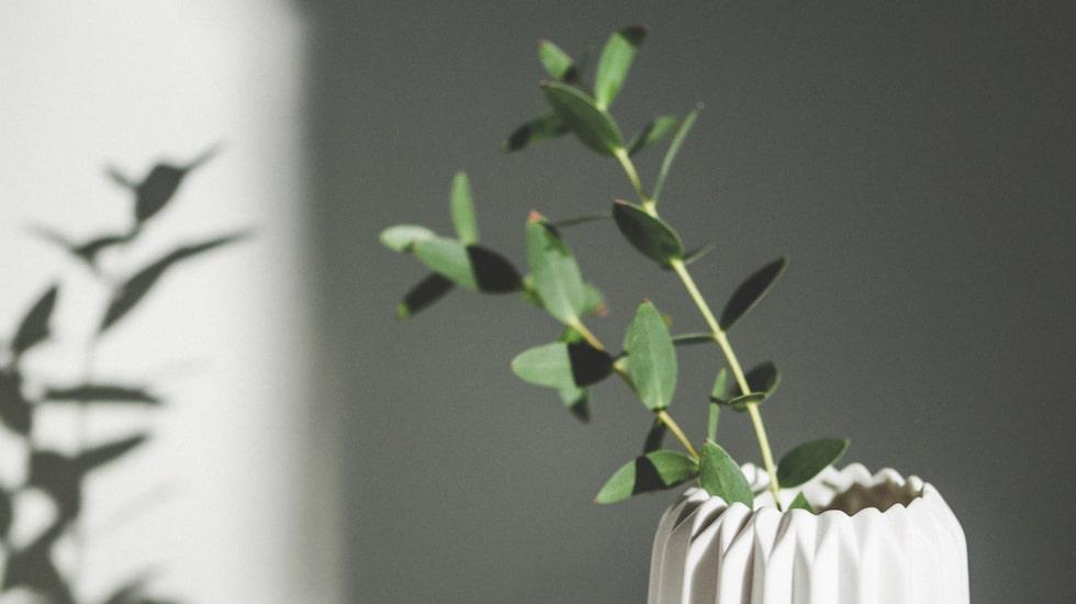 <p>Vill du liva upp ditt hem med snittblommor men tycker det känns tråkigt att köpa buketter som ändå bara vissnar efter ett par dagar? Då ska du definitivt prova eukalyptus.<br></p>