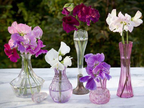 Ju mer du plockar desto mer blommar luktärter. Samla små vaser med luktärter i en fin grupp på bordet.