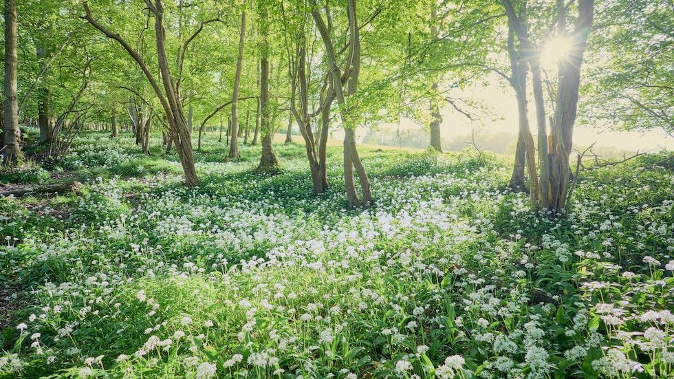 Ramslöken har smakrika, liljekonvaljlika breda och gröna blad, och stjärnlika, vita blommor som breder ut sig som ett vackert konstverk med start på försommaren.