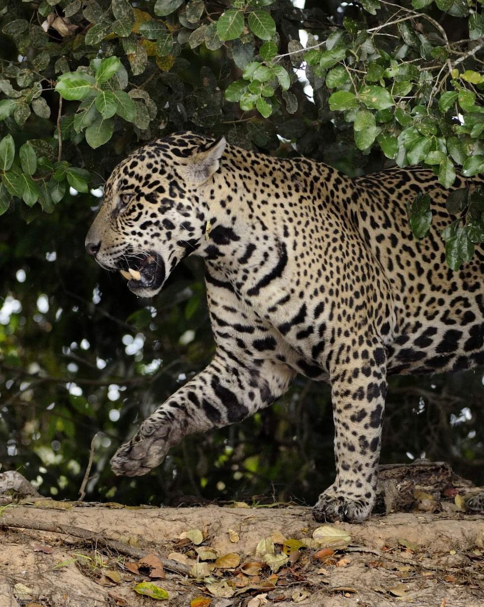 Jaguaren  är mycket svår att upptäcka tills den stora fläckiga katten klättrar upp i ett träd.