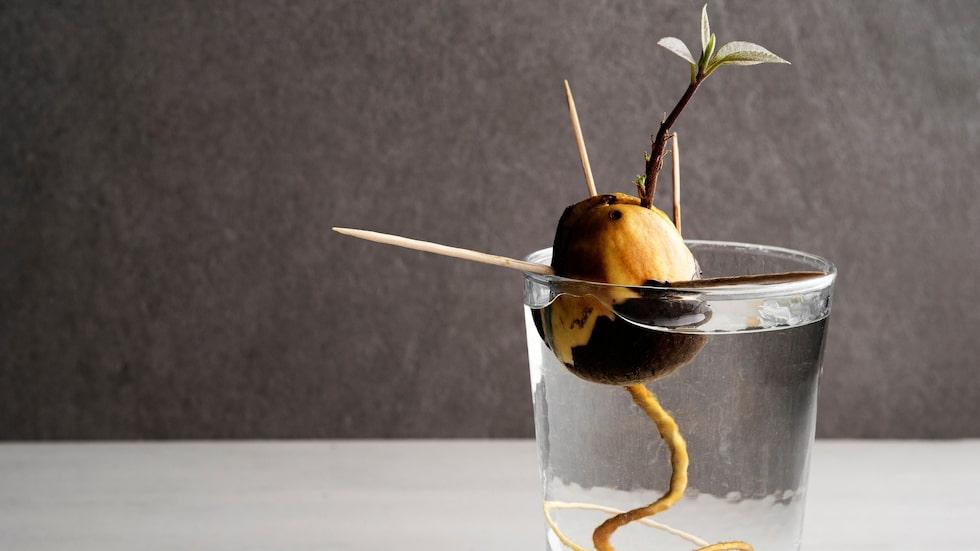 Så här ser det ut när avokadon får rötter och en stam.