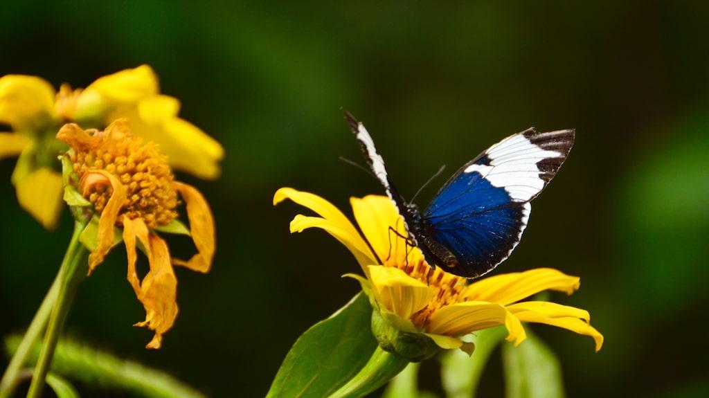 Fjärilsmuseet Butterfly Conservatory i El Castillo har en av de största samlingarna i Costa Rica.