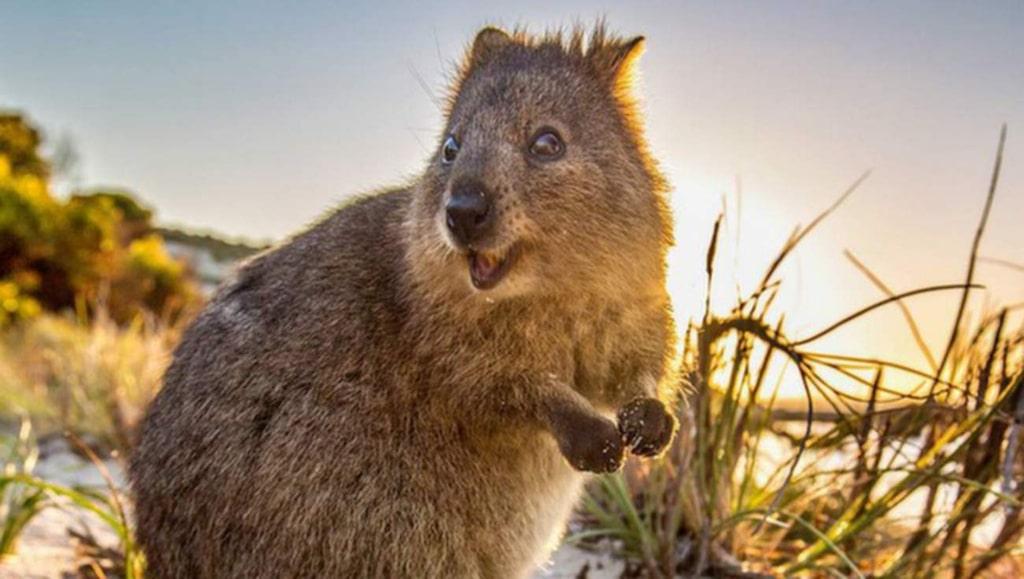 <p>Den ser ut lite som en blandning mellan en bäver, en råtta och en kängru.</p>