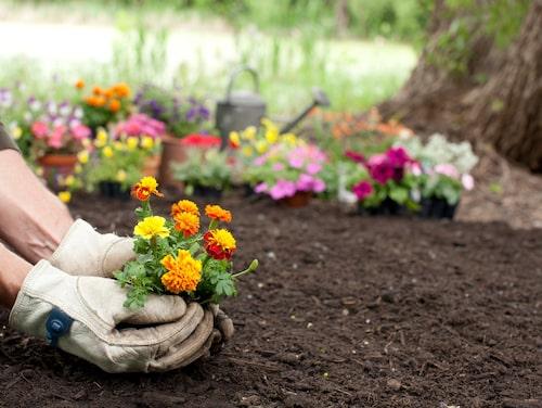 Vår och höst är bästa tiden för att plantera och anlägga en rabatt, eftersom jorden är fuktig då.